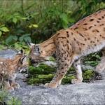 Stippvisite bei Luchs, Wolf und Otter im Nationalpark Bayerischer Wald