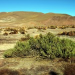 Blühende Wüstenlandschaft im Norden von Chile