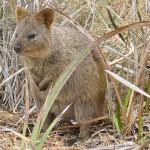 Rottnest Island – Begegnungen mit Quokkas