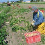 La Bonnotte: Fest für die Kartoffel auf Noirmoutier