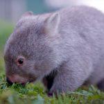 Neues von Derek, dem tasmanischen Wombat
