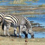 Tierherden auf Wanderschaft in der Masai Mara