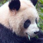 China plant eine touristische Panda-Reiseroute