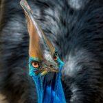 Cassowary Festival – Party für einen Laufvogel