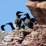 Einfach flatterhaft: Lummensprung auf Helgoland
