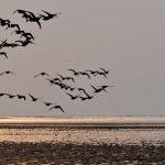 Zugvogeltage im Niedersächsischen Wattenmeer