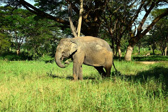 In Thailand gibt es mehr Elefanten in gefangenschaft als in freiheit. - Foto Cornelia Lohs