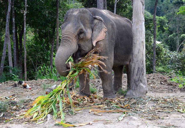 Das Huhn stört den mächtigen Elefanten nicht bei seiner Mahlzeit. - Foto Cornelia Lohs