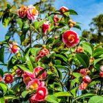 Floraler Zauber: Der Lago Maggiore blüht auf