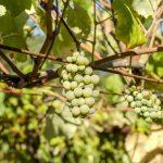 Aserbaidschan – Weinkultur mit großer Tradition