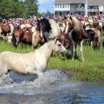 Schwimmende Wildpferde auf Assateague Island