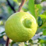 Iwagishima- die Insel, wo die Zitronen blühen