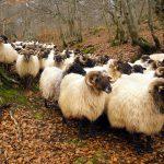 Schafe, Kühe und Käse in Navarras Hochebenen