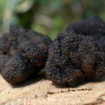 Trüffel – schwarzes Gold der Feinschmecker
