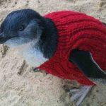 Pullover stricken für Pinguine auf Phillip Island