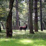 Hirschbrunft und Jagdsaison: Halali in der Wallonie