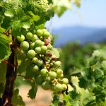 Erlesene Wein-Kultur in Virginia und Maryland