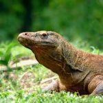 Indonesiens Waran-Insel Komodo bleibt geöffnet