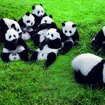 Pandas in Chengdu rund um die Uhr beobachten