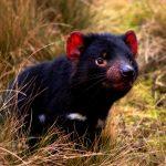Down under ganz tierisch: Die Tasmanischen 5