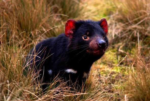 Tasmanische 5