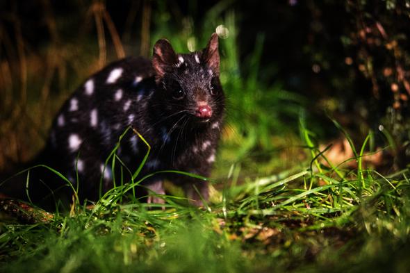 Tasmanischen 5