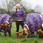 Happy Xmas! Jersey-Kühe im Weihnachtsdress
