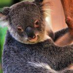 Victoria: Koala-Rettungsaktion nach Buschbränden