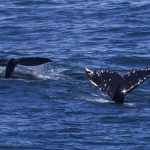 Whale Watch Week – graue Riesen vor Oregon