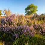 Prachtvolle Lila-Sommerzeit in der Lüneburger Heide
