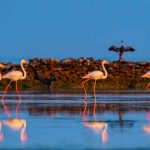 Scharen von Flamingos ziehen nach Katar