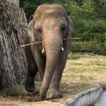 Pakistan verabschiedet Elefant Kaavan