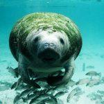 Manatees – Floridas sanfte Riesen
