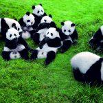 Neuer Panda-Park in Xi'an in Planung
