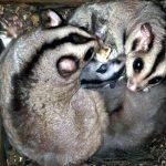 Aussies feiern Gleithörnchenbeutler